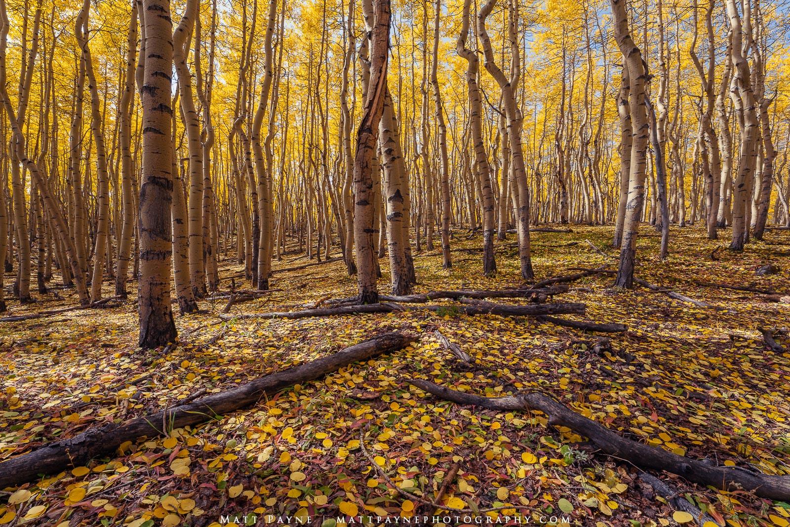 Aspen Trees, Autumn, Colorado, Fall, Fall Colors, Foliage, Landscape, Squiggly, aspen leaves, colorful, Landscape Photography, photo