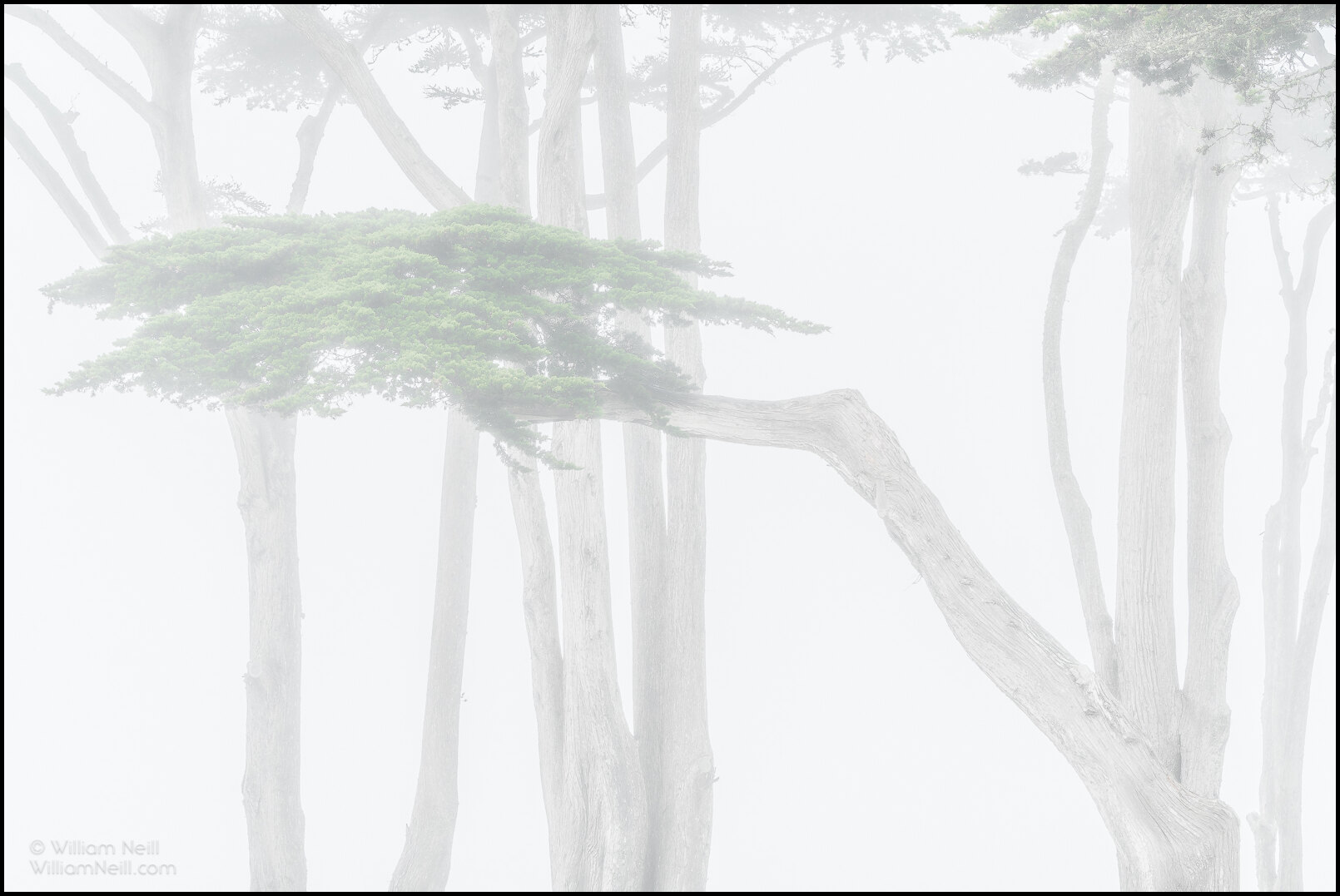 Cypress trees in fog, Monterey, California 2019