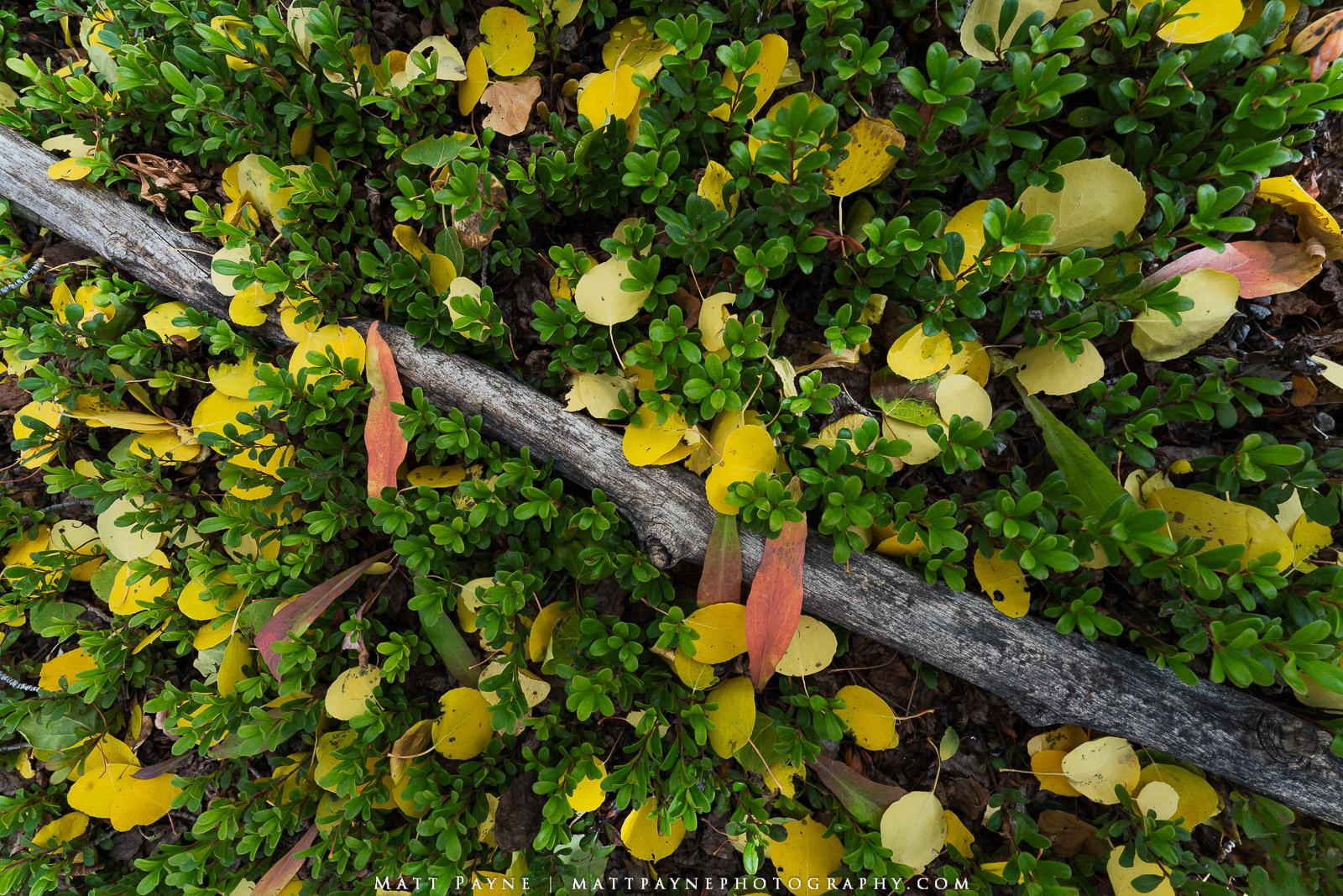 Autumn, Bearberry, Colorado, Fall, Foliage, Kinnikinnick, Leaves, Plants, Landscape Photography, photo