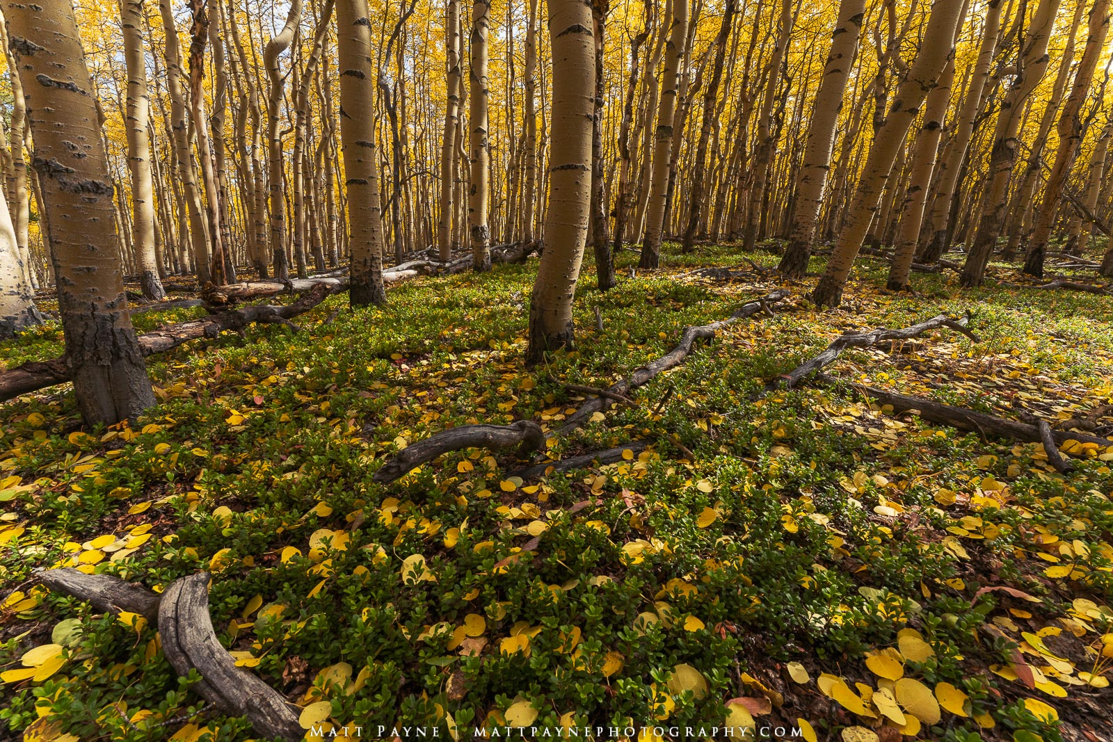 An autumn forest floor adorned with Kinnikinnick or Bearberry deep in the heart of Colorado on a crisp fall morning showcases...