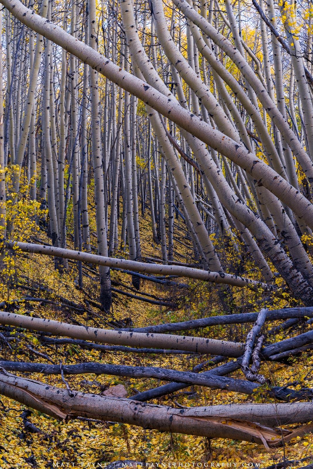 Aspen Trees, Autumn, Colorado, Fall, Fall Colors, Foliage, Forest, Landscape, aspen leaves, landscape photography, photo