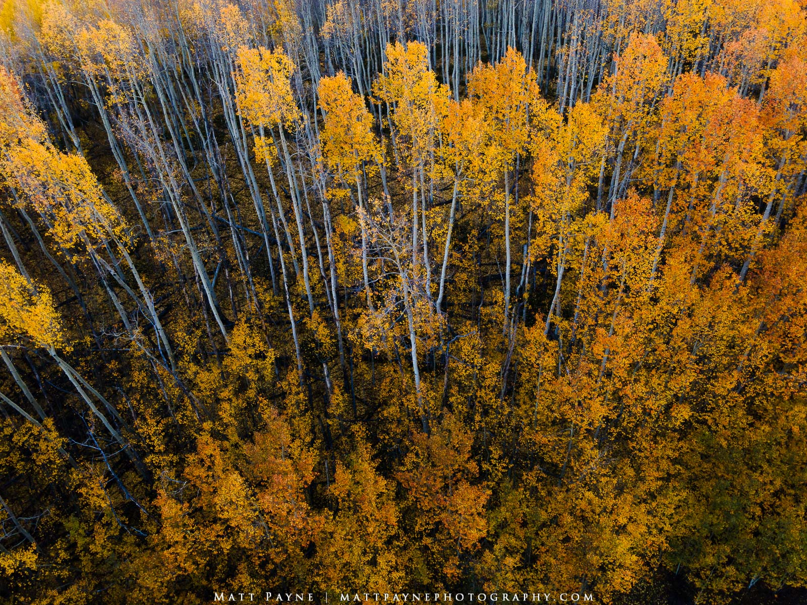A view of an aspen forest during fall colors in Colorado. Photo © copyright by Matt Payne.