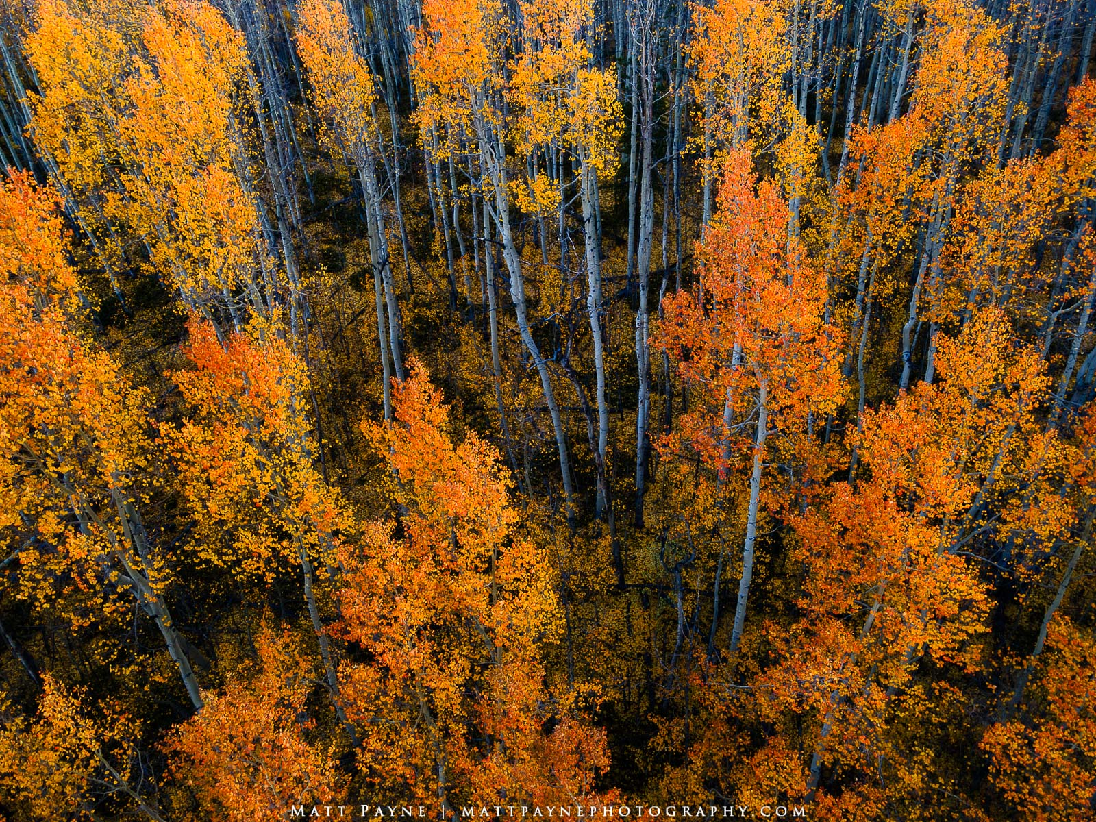 Aspen forests in autumn in Colorado are so amazing to photograph. I honestly just can't get enough of it. It is my favorite time...