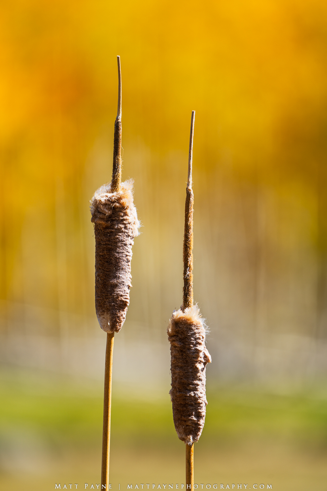 I've always thought cattails were pretty awesome oddities of nature. When I saw these two with a nice autumn / fall backdrop...