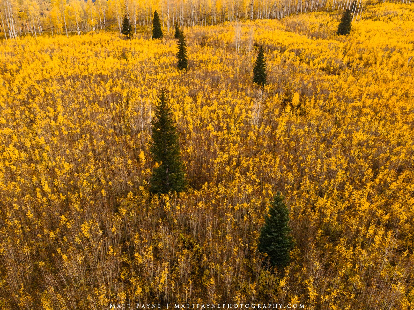 Here's a huge meadow filled with aspen tree saplings interspersed with pine trees as seen in fall in Colorado. What caused this...