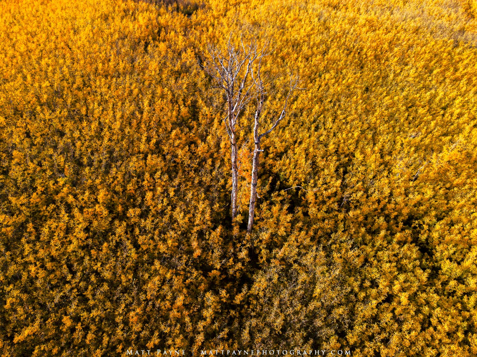 A meadow of new aspen saplings surrounds two single dead aspen in a scene that could potentially represent many ideas. Young...