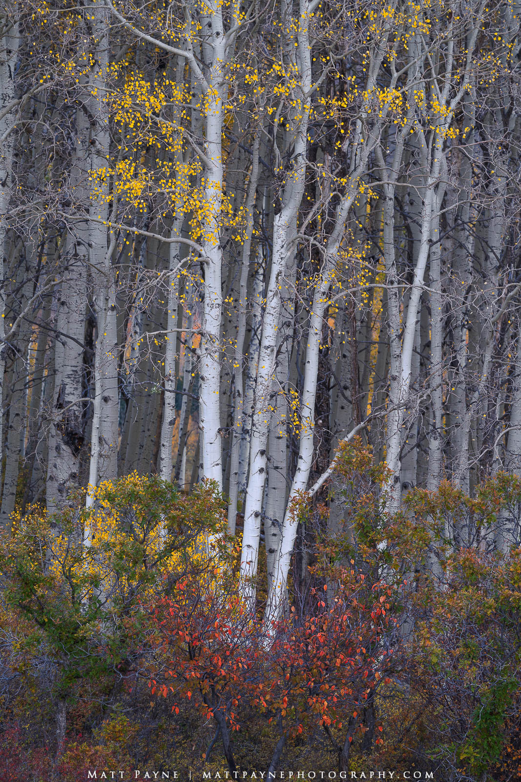 I was really happy to find this composition which included aspen trees, scrub oak, and the white bark of the aspen trees with...
