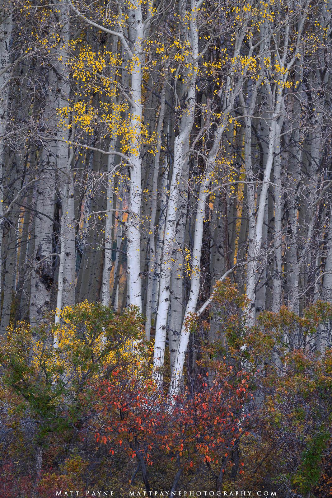 Aspen Trees, Autumn, Colorado, Fall, Fall Colors, Foliage, Landscape, San Juan Mountains, aspen leaves, colorful, landscape photography, photo