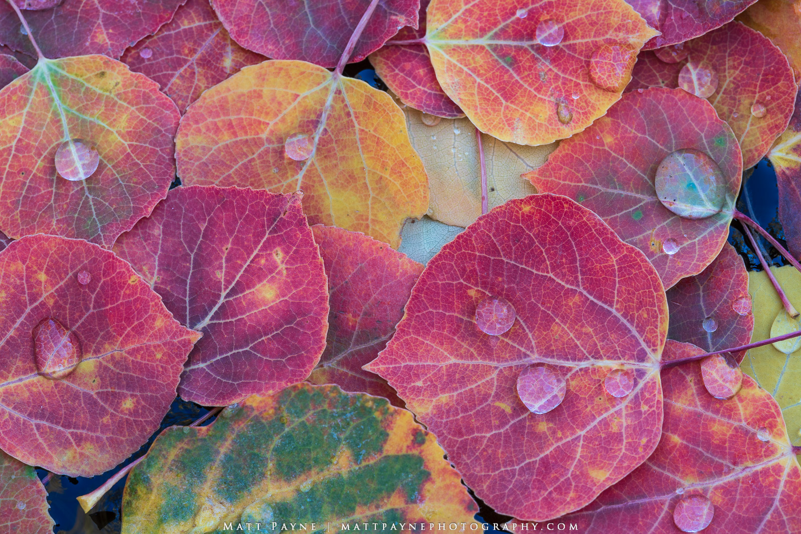 Autumn, Colorado, Fall Colors, Macro, Red, aspen leaves, colorful, ruby, water droplets, Landscape Photography, photo
