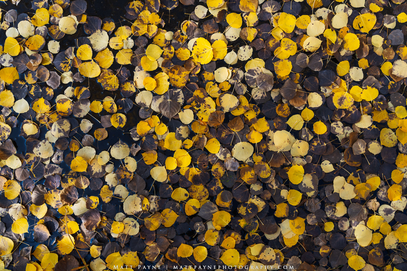 Here, a TON of fallen aspen leaves float in still water in a stream in the forests of Colorado in the San Juan Mountains. I liked...