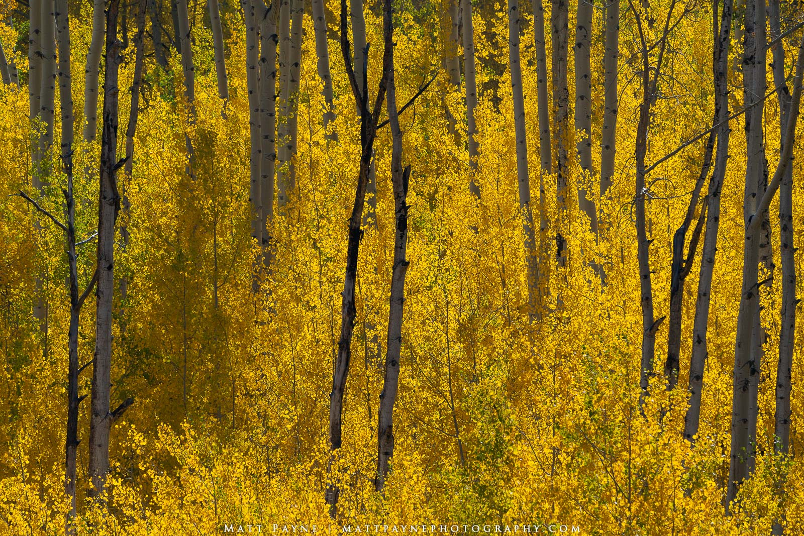 Aspen Trees, Autumn, Colorado, Fall, Fall Colors, Landscape, backlit, photo