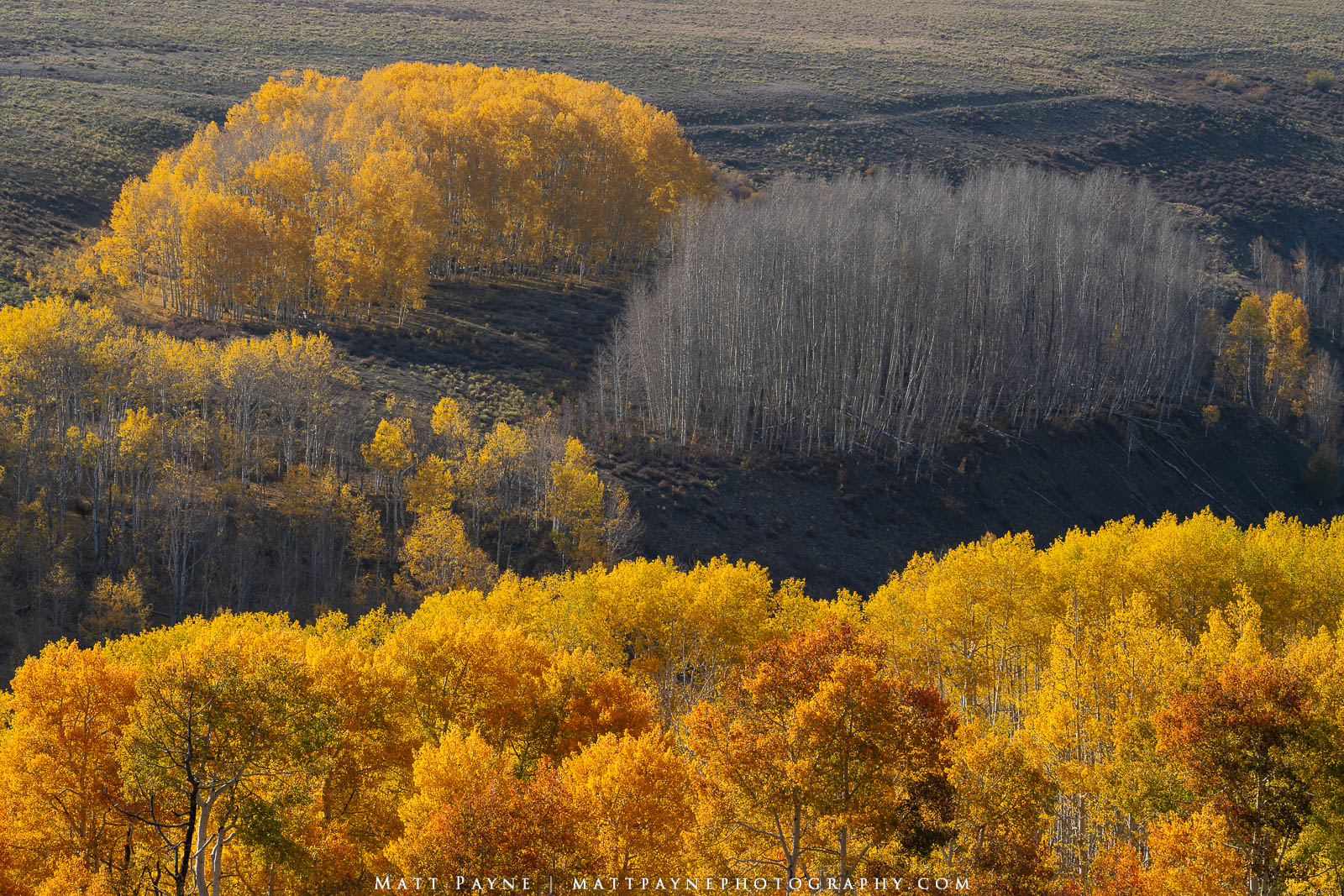 Here is another scene that piqued my curiosity. Why would there be two stands of aspen trees, one filled with leaves, and another...