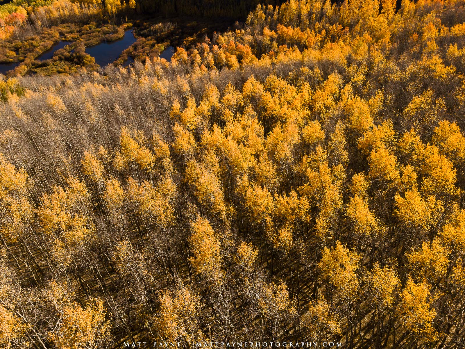 A golden carpet of autumn  / fall foliage near a set of beaver ponds in Colorado showcases the amazing foliage and colorful aspen...