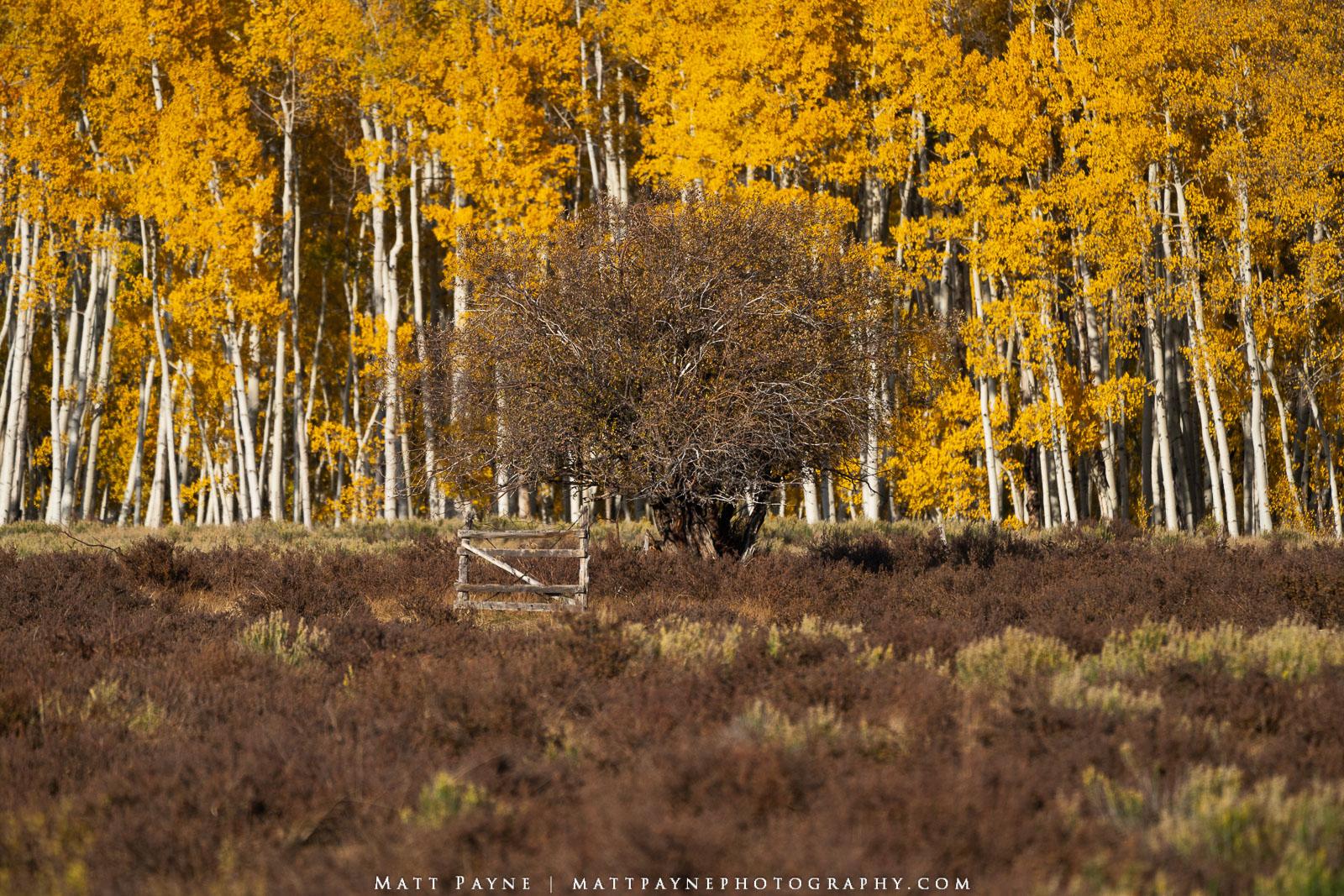 Aspen Trees, Autumn, Colorado, Fall, Fall Colors, San Juan Mountains, gate, willow tree, Landscape Photography, photo