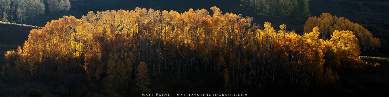 This massive panorama showcases insane detail of a beautiful stand of aspen trees illuminated by backlight in the late afternoon...