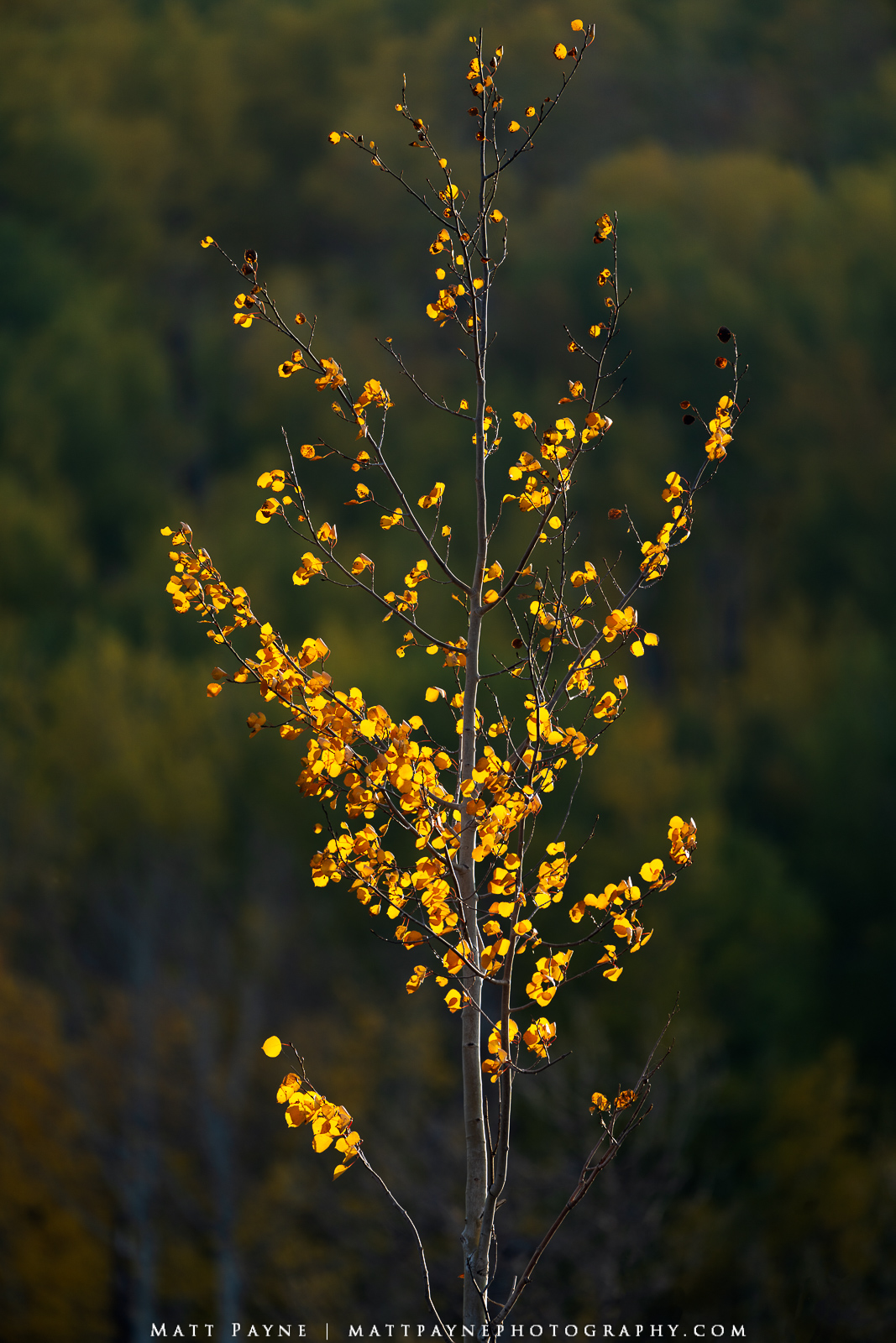 This fall in Colorado I kept finding single aspen trees to photograph. I am not sure why. I think it symbolizes singular individual...