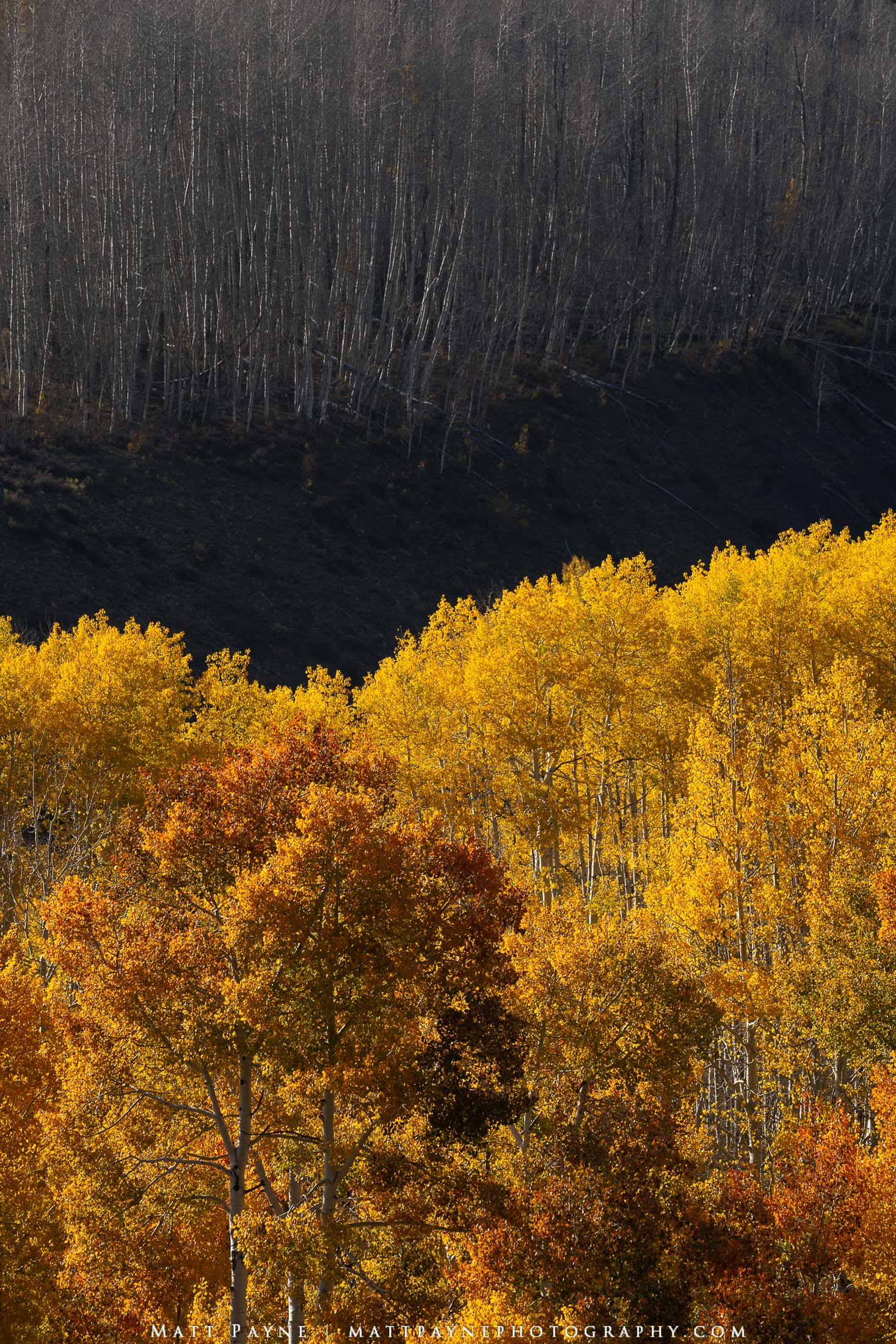 These two stands of aspen trees, only separated by a small ditch, tell two very different stories. One is filled with vibrant...