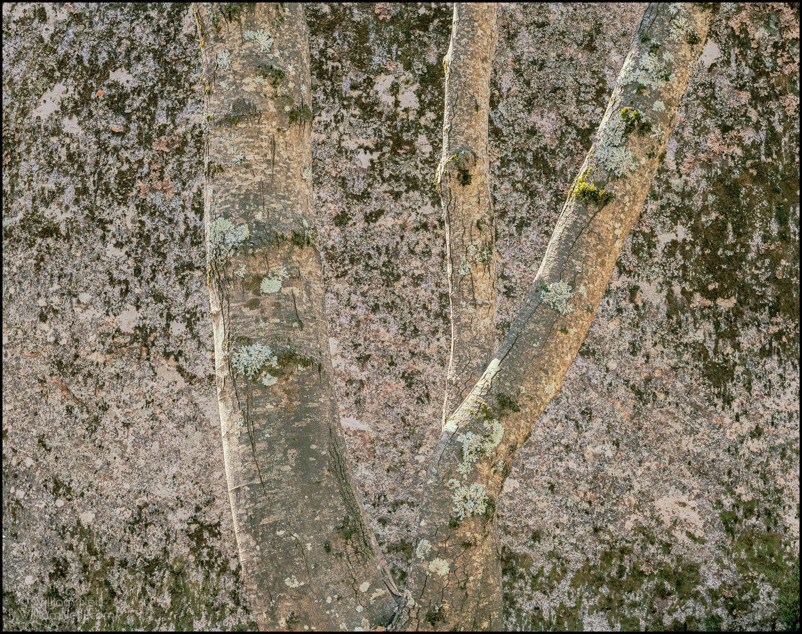 Alder and granite boulder, Yosemite Valley, Yosemite National Park,  California  1984