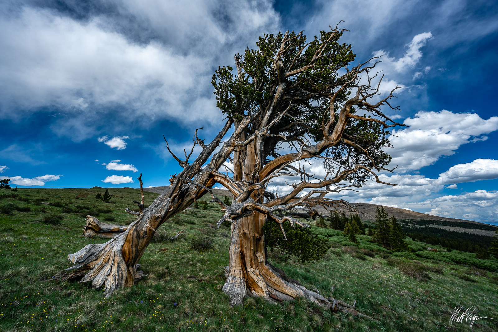 I found this amazing pair of ancient Bristlecone Pine trees on the slopes of some high mountains near Fairplay, Colorado. I was...
