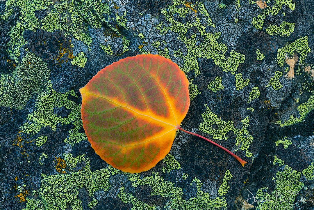 fall, fall color, aspen, aspen leaf, leaf, leaves, fallen leaf, fallen leaves, lichen, rock, stone, pattern, patterns, simplicity, ID, Idaho, Sawtooths, Sawtooth Mountains, photo