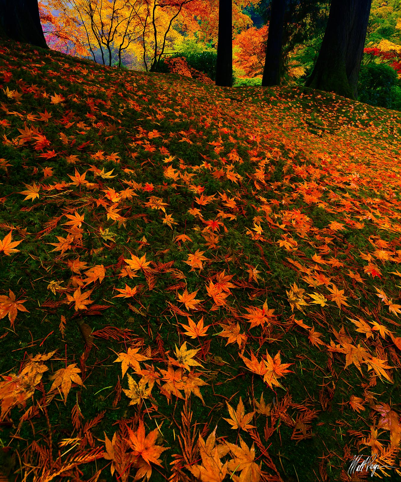 In this fall color autumn landscape fine art photograph, fallen leaves adorn the ground in the Portland Japanese Garden.&nbsp...