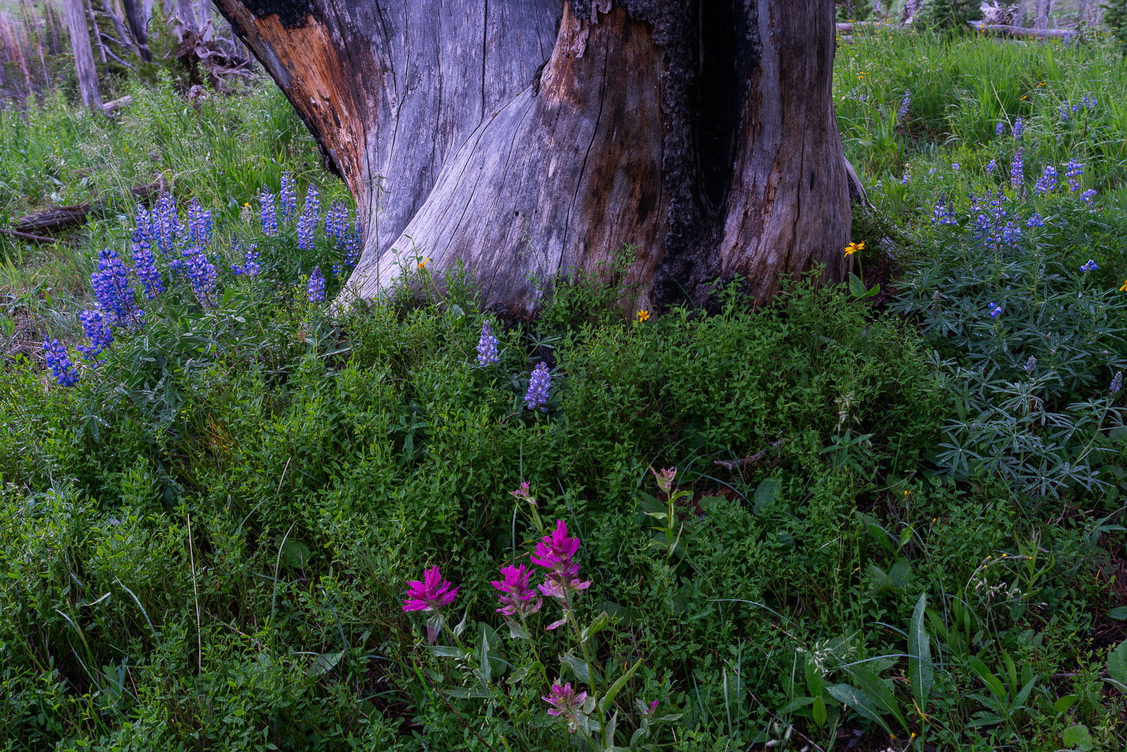 Flowers, Lupine, Montana, Yellowstone National Park, burned, paintbrush, tree, photo