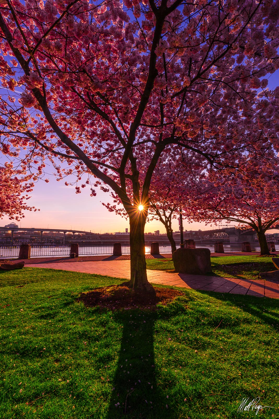 This fine art landscape photograph featurescherry blossoms in spring and a sunstar at sunriseon the Willamette River...
