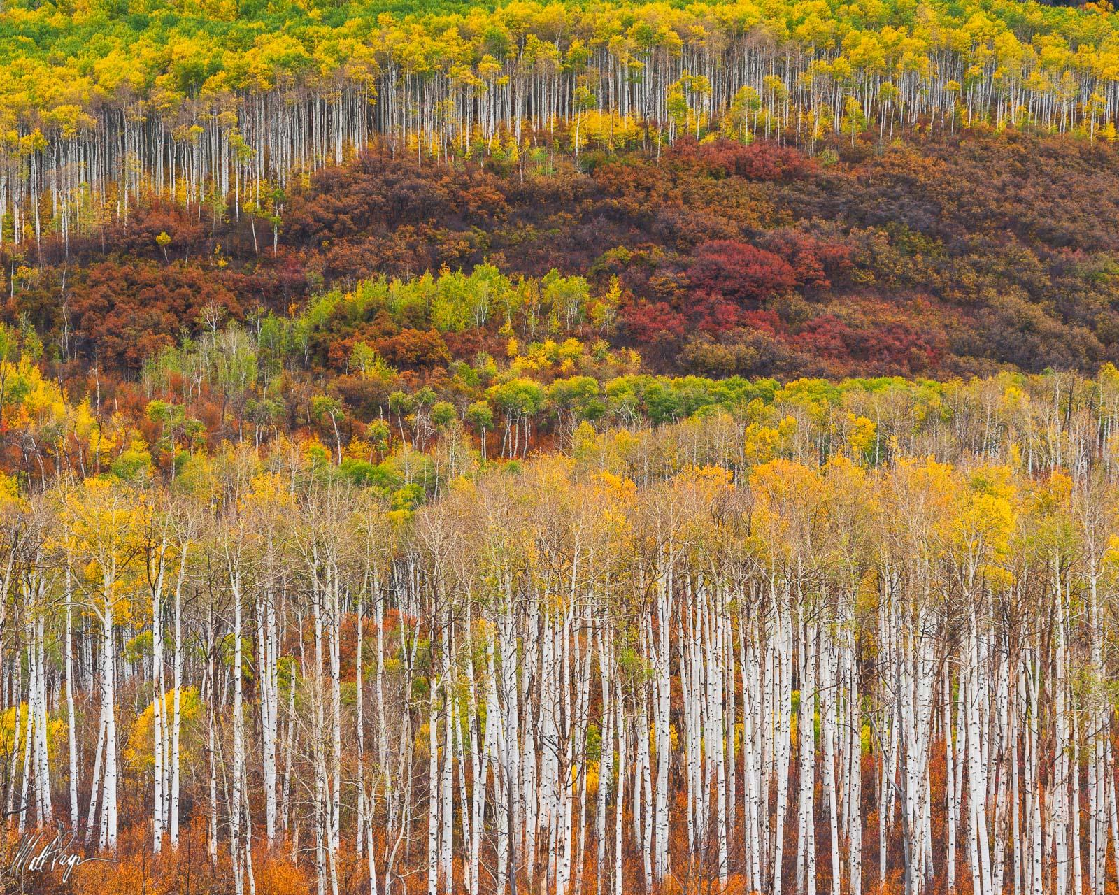 Aspen Trees, Autumn, Colorado, Fall, Fall Colors, Landscape, colorful, scrub oak, McClure Pass, Landscape Photography, photo