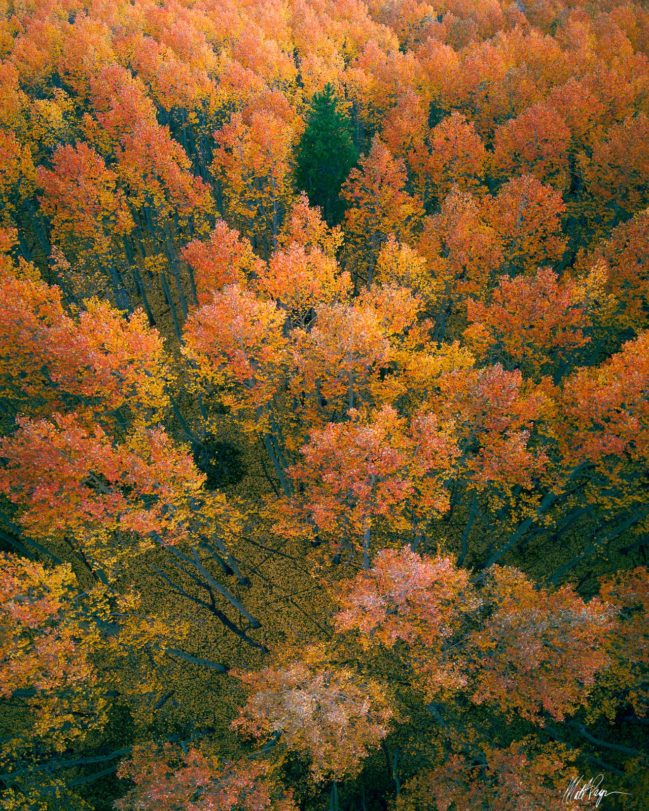 The gradients of color found in various stands of aspen in Colorado can be really fascinating and beautiful. In this case, just...