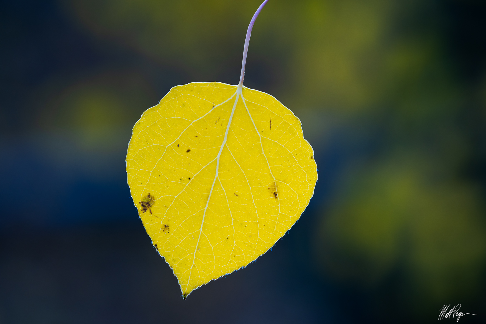 Nothing special here - just a single yellow aspen leaf blowing in the wind in a Colorado forest at dawn in autumn. Fall is magic...