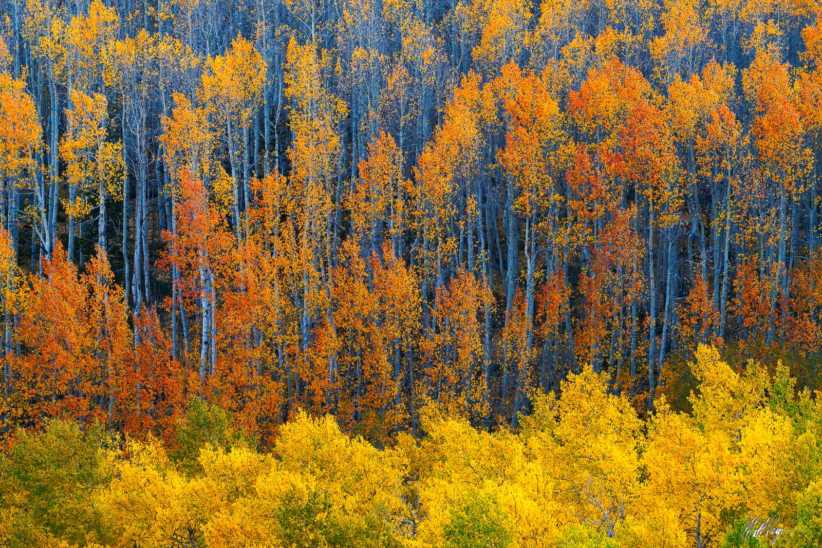 Afternoon autumn sun cascading through an aspen forest canopy creates great light and reveals these colorful layers of fall color...