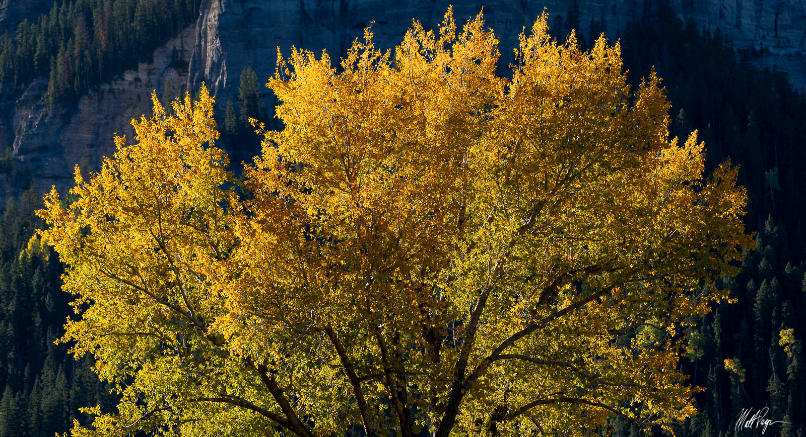 One of my favorite spots to spend a morning in fall is near Ridgway, Colorado. There's a set of large cottonwood trees that are...