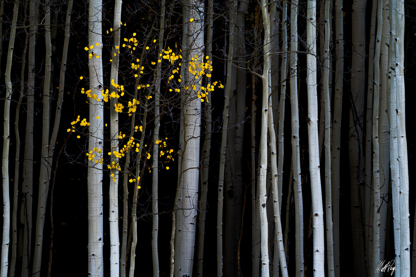 Early Light catches the white bark of aspen trees in a forest near Ridgway, Colorado. I just loved how only a few trees had yellow...