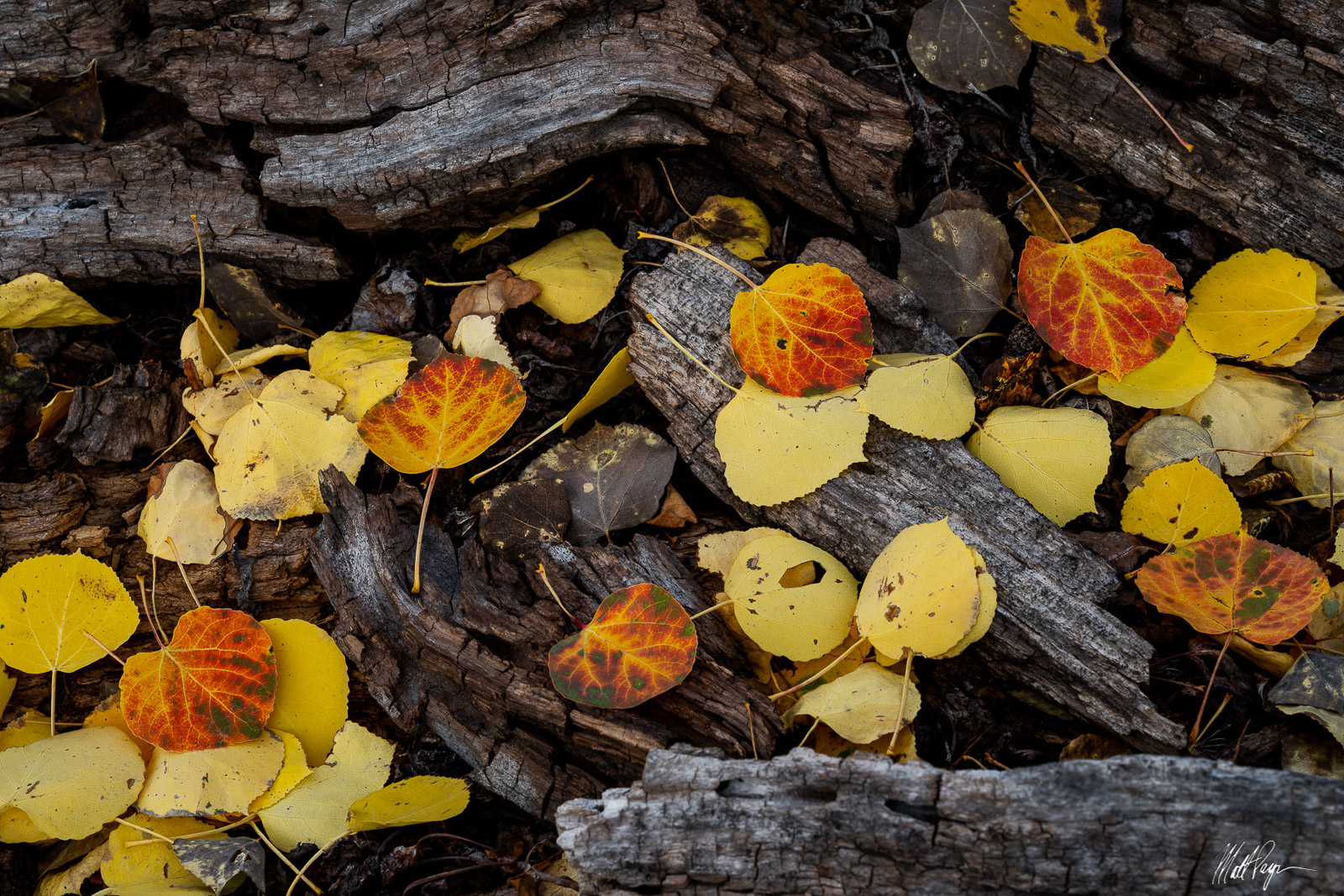 Fallen aspen leaves containing a variety of colors, including red, yellow, and gold, reminded me of a fireplace filled with burning...