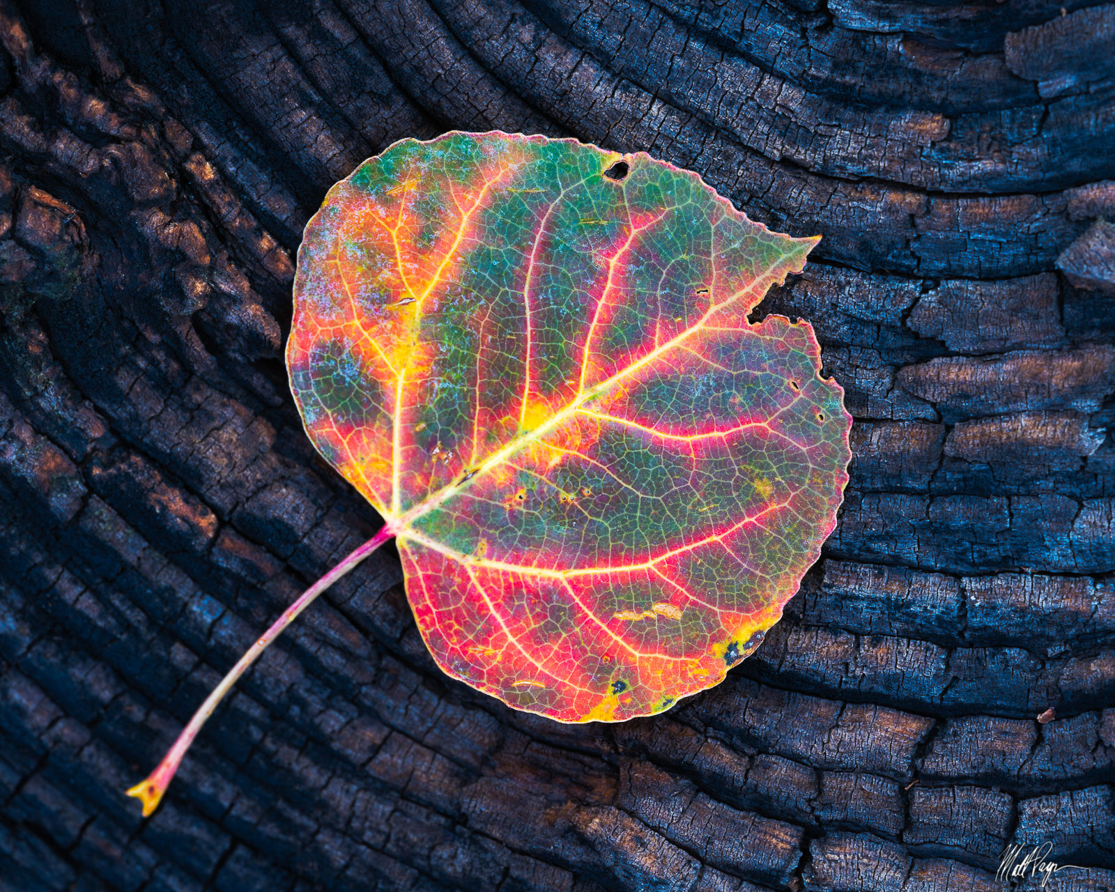 This single aspen leaf caught my attention on a slow walk through the woods in a very remote area of Colorado. The wood I found...
