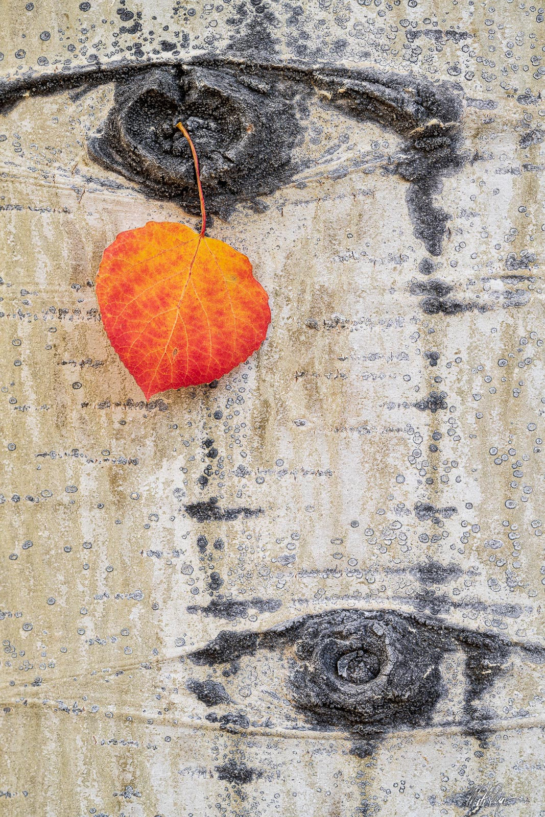 Textures, colors, and fall foliage. Pretty nice combination in my opinion. Here, a red aspen leaf rests in a small gap of the...