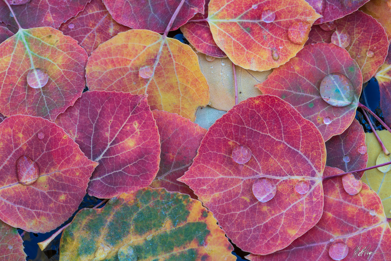Here, ruby red fallen aspen leaves collect in a small stagnant stream in the San Juan Mountains of Colorado, all adorned with...