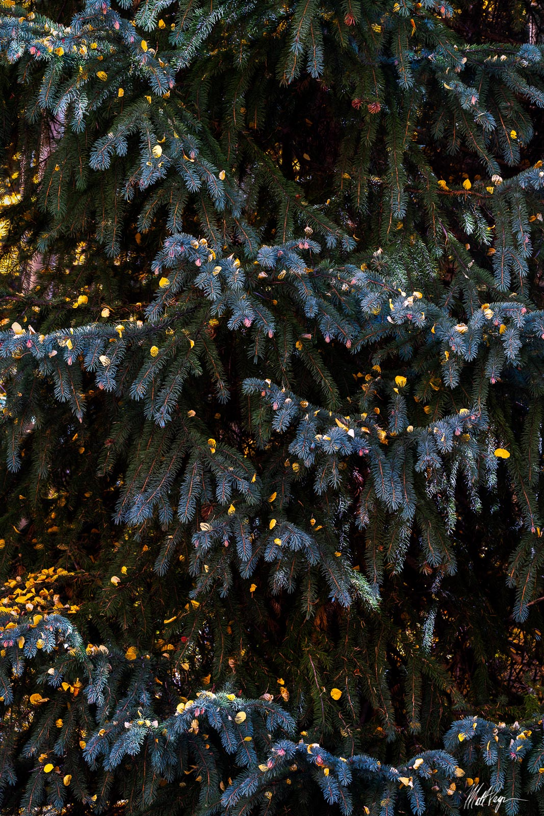 When I walked by this giant Blue Spruce and saw all of the fallen aspen leaves on its boughs, I could not help but take a photograph...