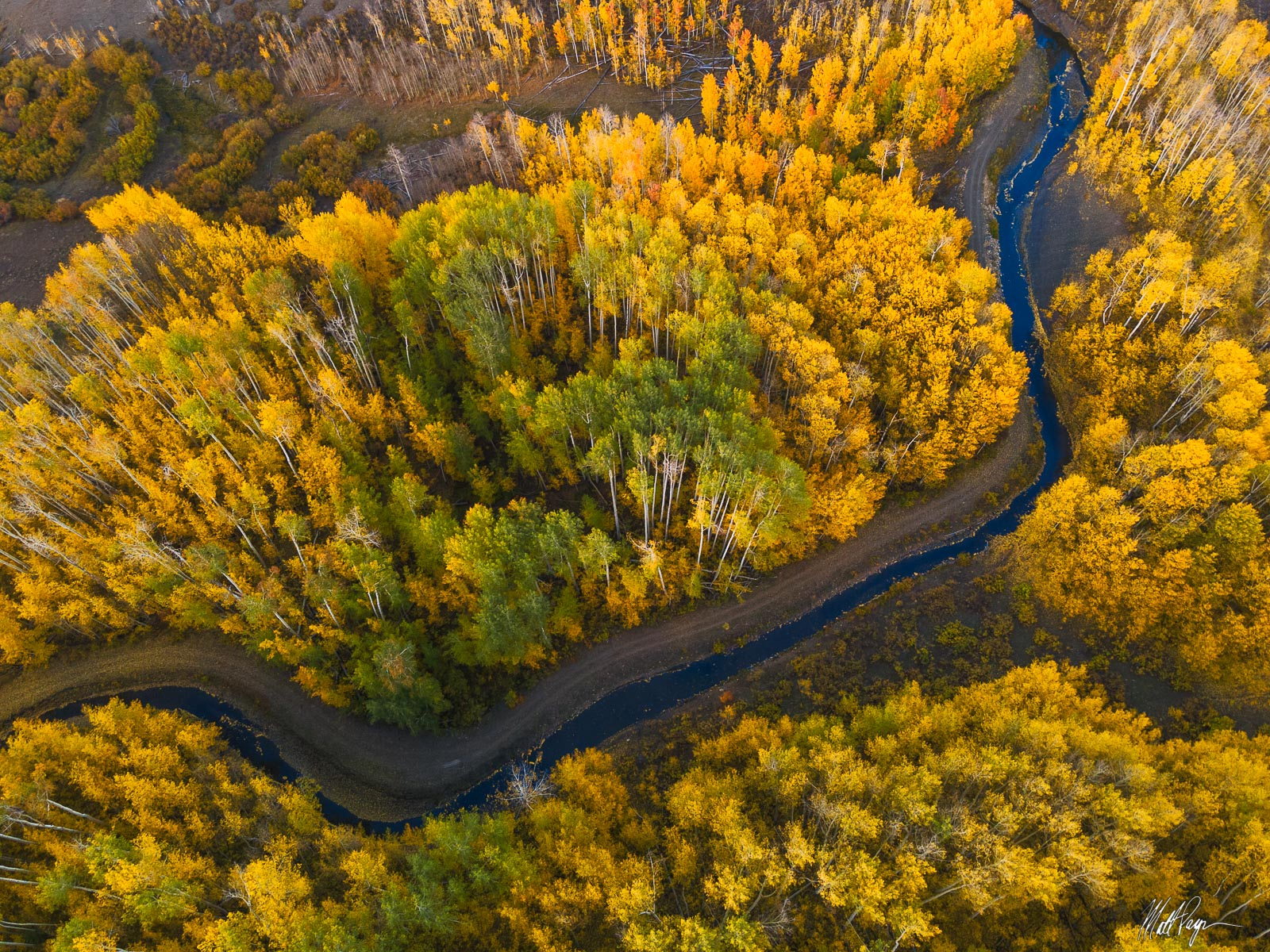 A cattle ditch winds through beautiful aspen trees adorned with yellow leaves in fall / autumn in the mountains of Colorado....