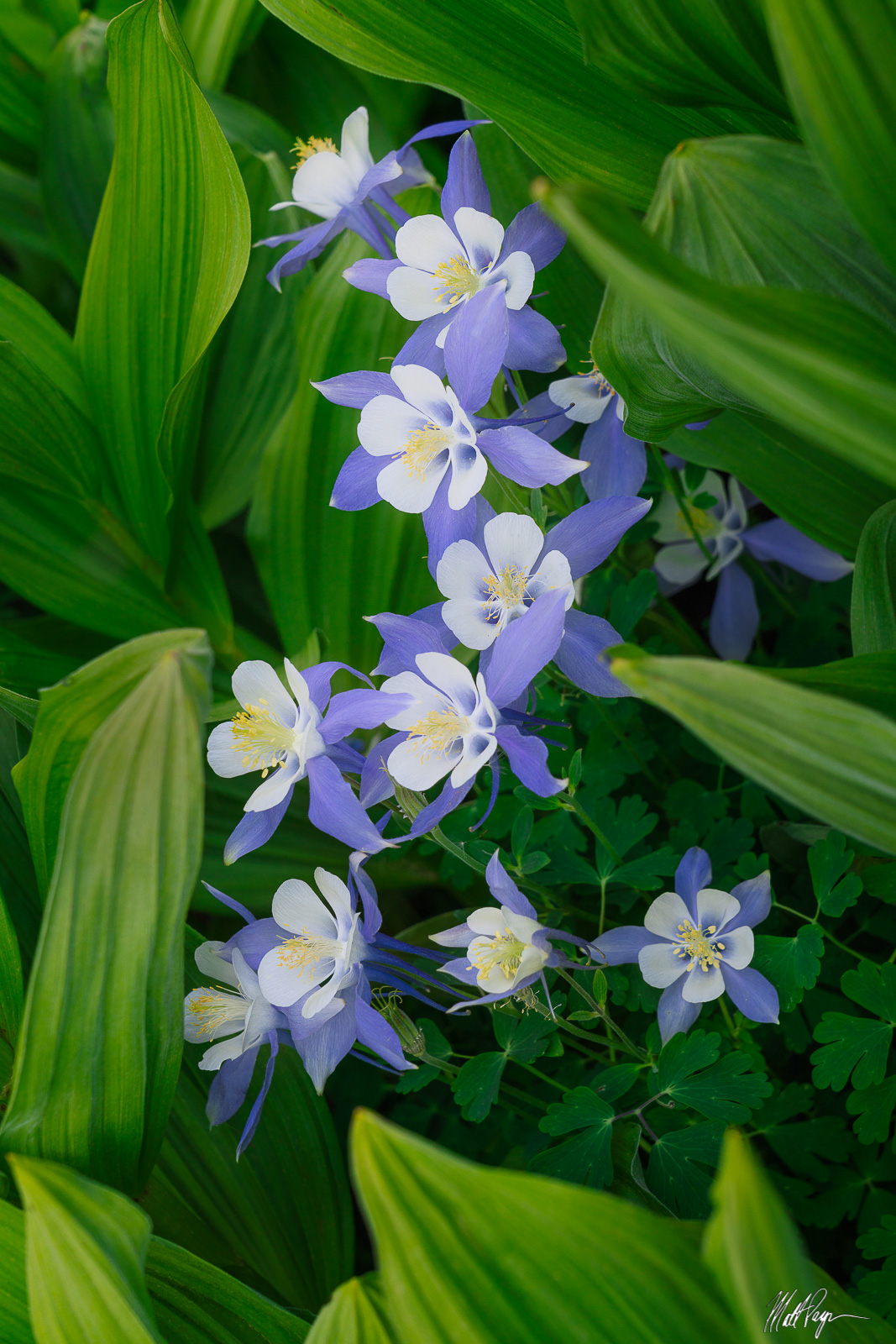 Rocky Mountain Columbine nestled beneath lush corn lilies found in an alpine meadow west of Silverton, Colorado in summer. Photographing...