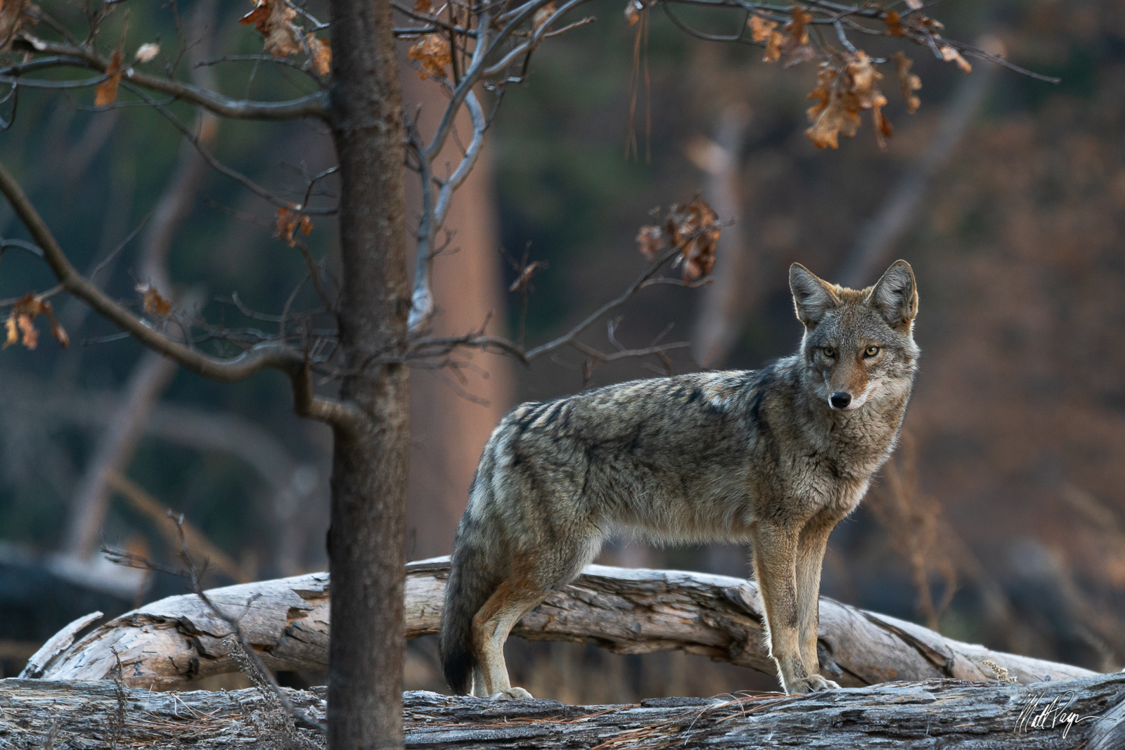 Coyote, Yosemite National Park, photo