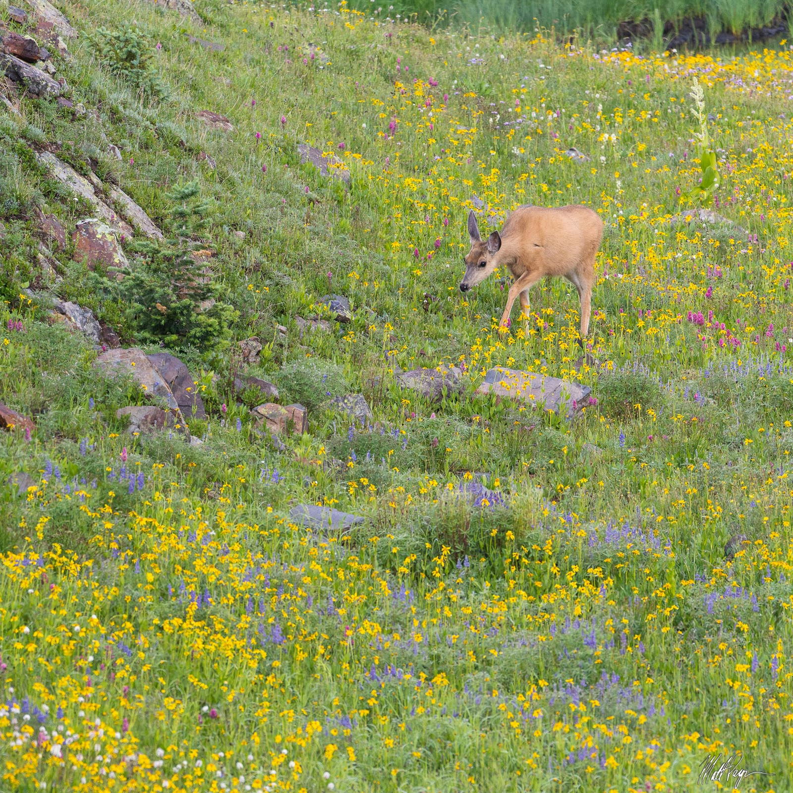 A deer found grazing in a field of wildflowers in summer above tree-line near Silverton, Colorado in the San Juan Mountains....