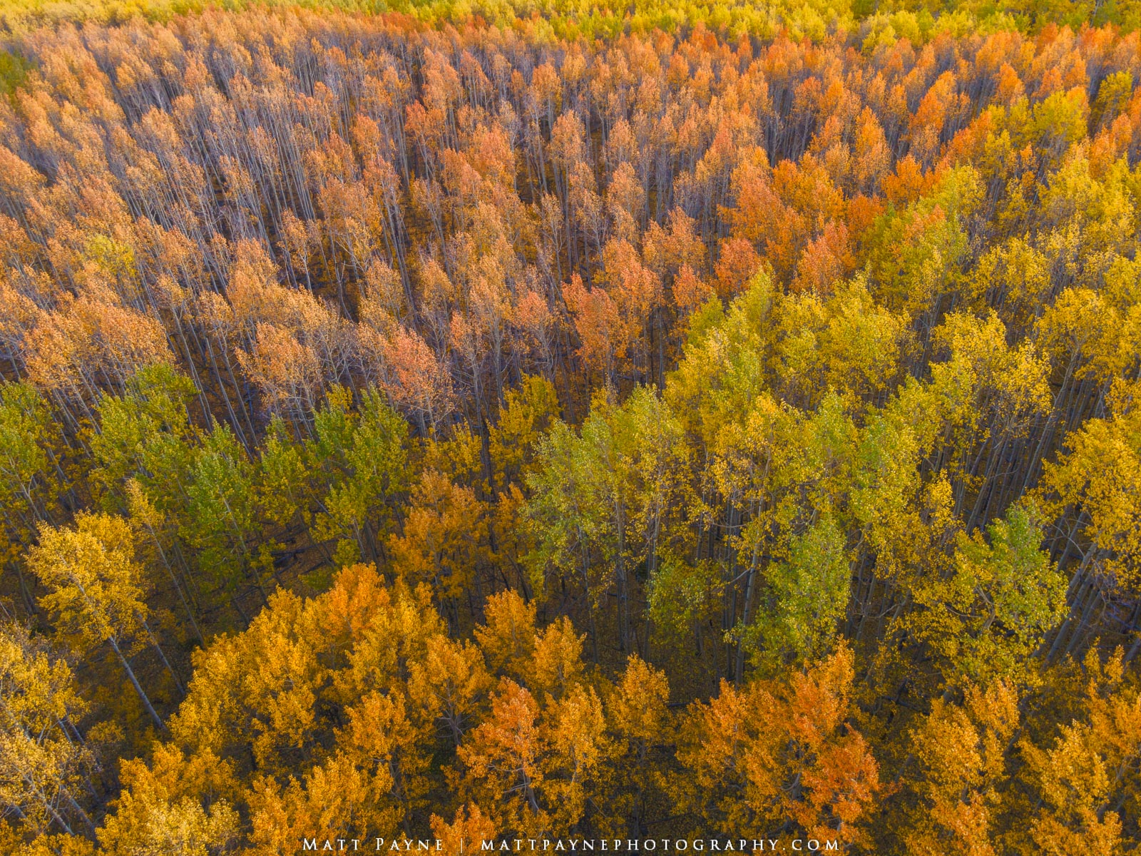 Aspen Trees, Autumn, Colorado, Fall, Fall Colors, Foliage, Forest, Landscape, colorful, landscape photography, trees, photo