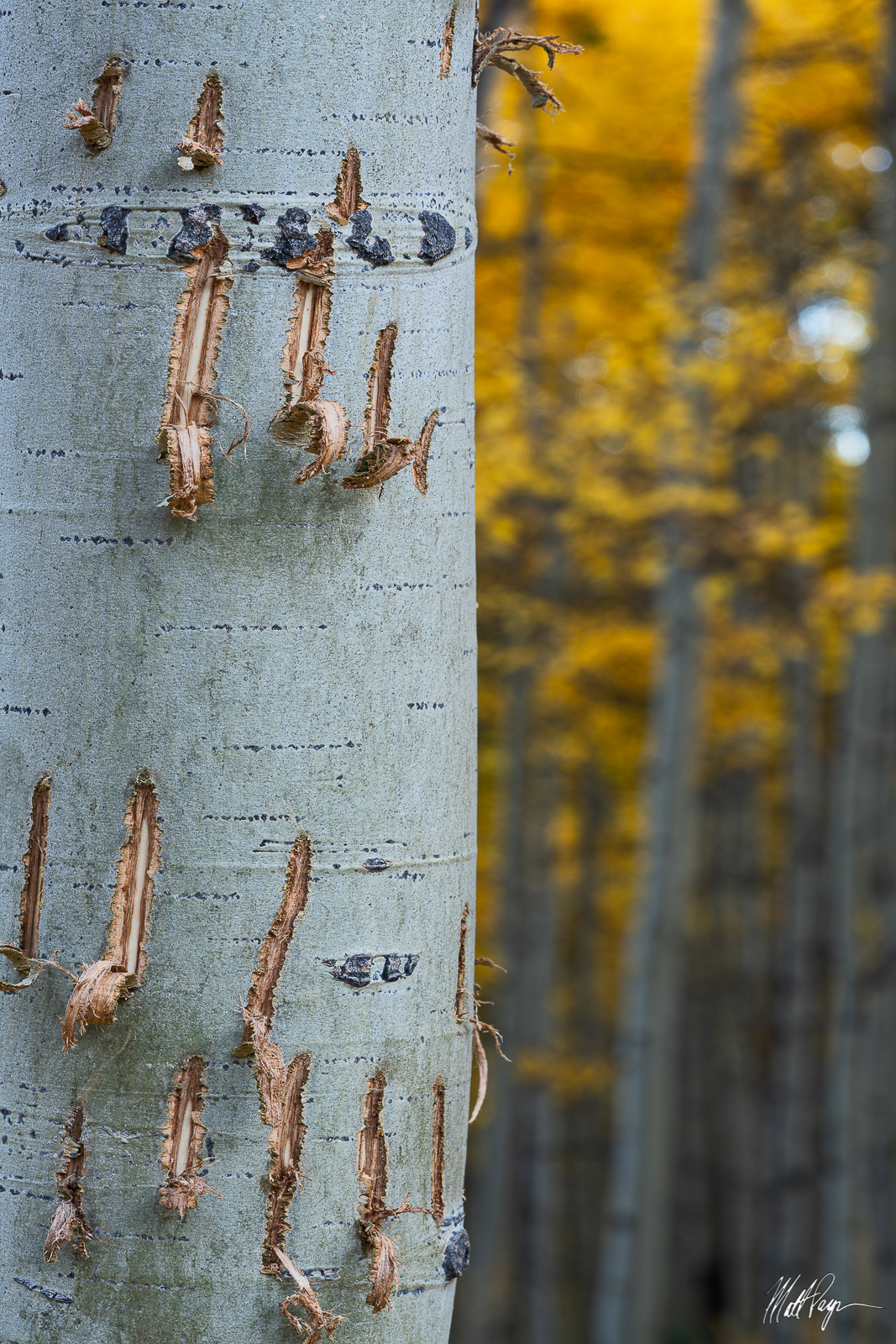 On a hike through the forest in autumn near Crested Butte, Colorado, I stumbled upon this aspen tree that had very fresh bear...