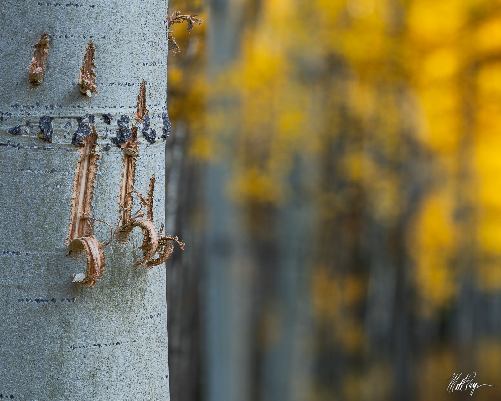 Aspen Trees, Autumn, Bark, Colorado, Crested Butte, Fall, Fall Colors, bear claw, photo