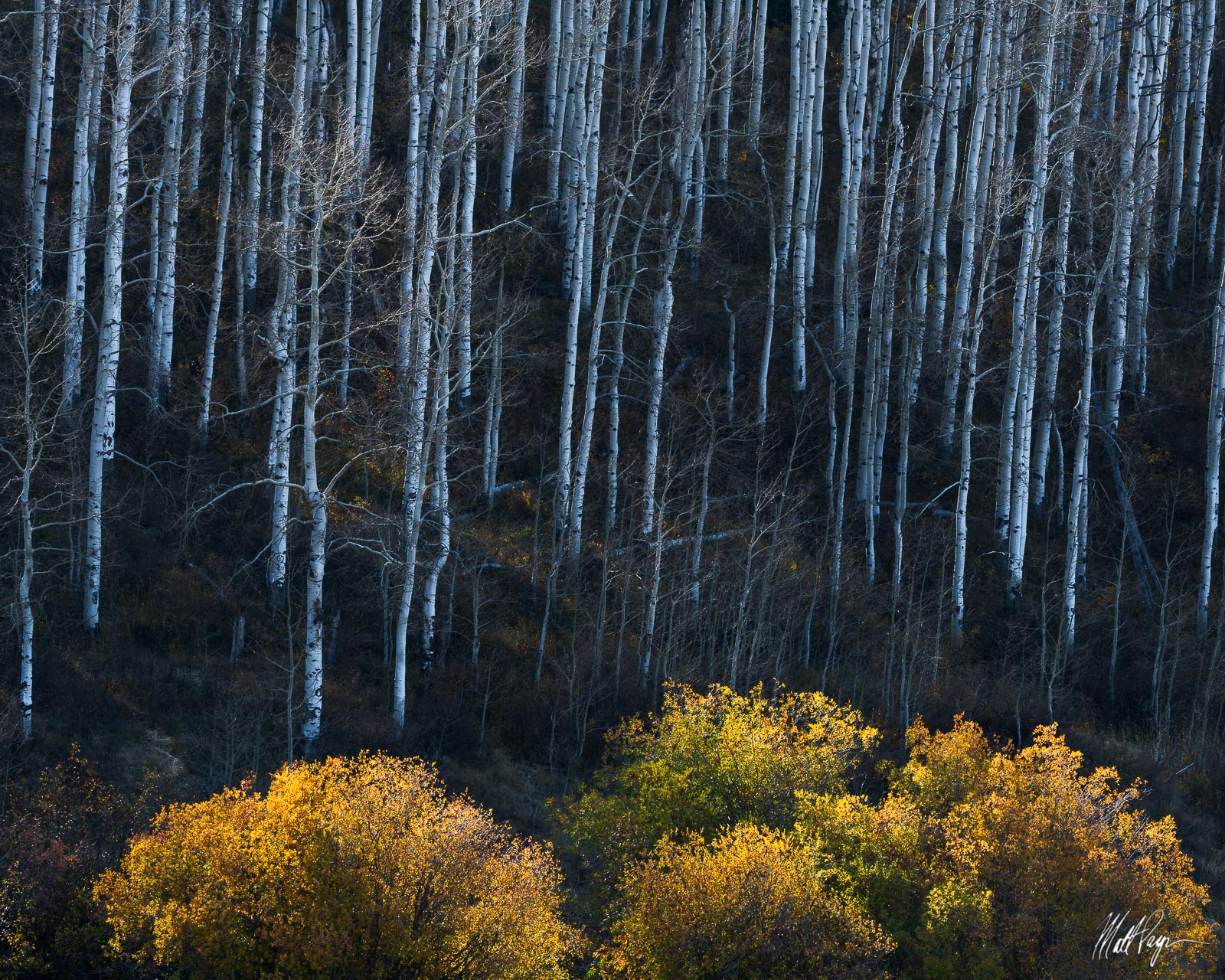 Aspen Trees, Autumn, Colorado, Paonia, willow, Gunnison National Forest, photo