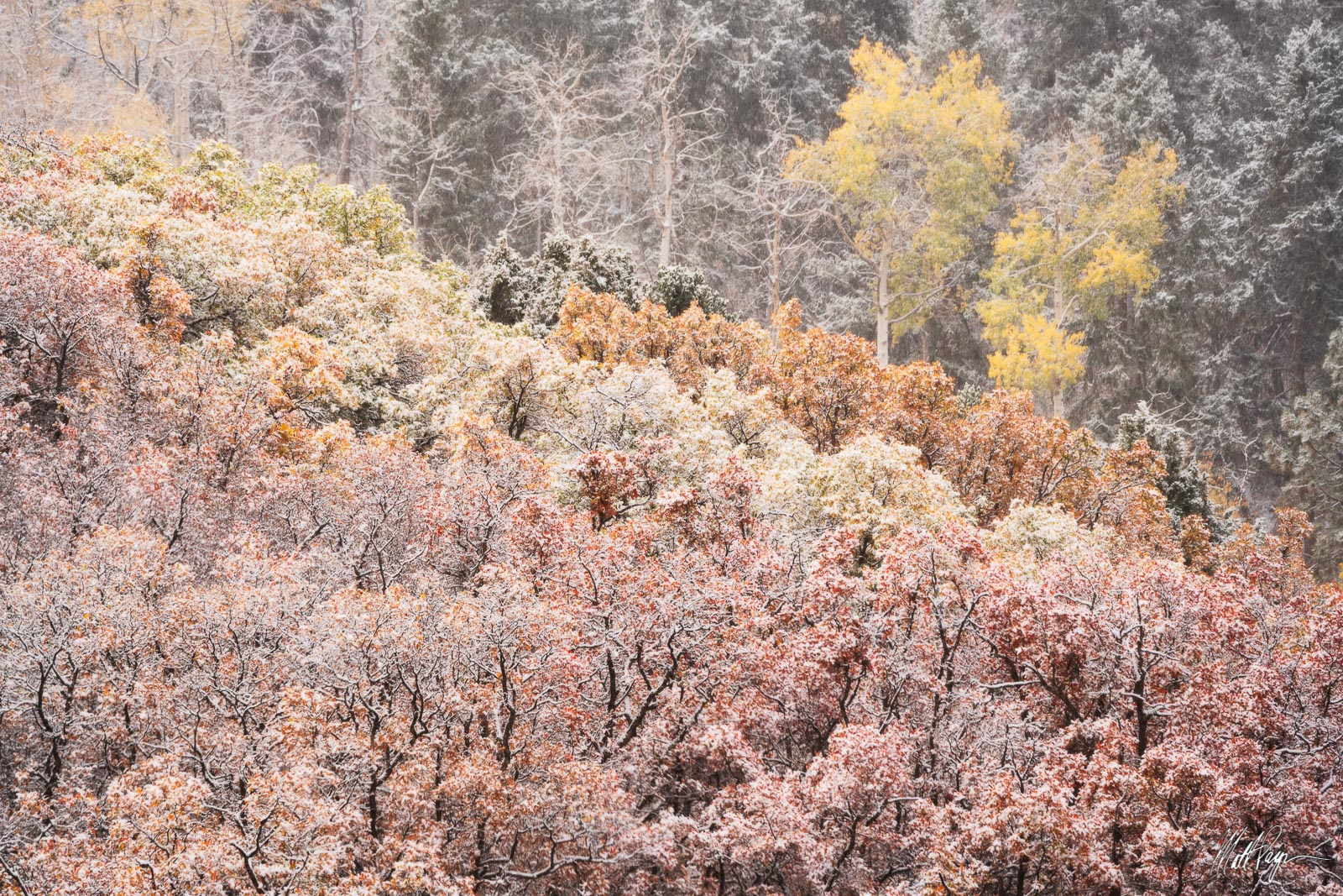 Scrub Oak and Aspen Trees adorned with snow on a foggy autumn morning near Ridgway, Colorado.Photo © copyright by Matt Payne...