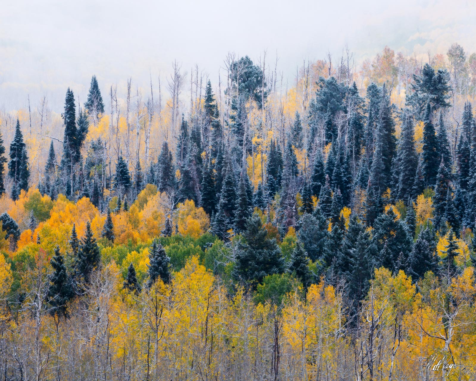 Aspen Trees, Autumn, Blue Spruce, Colorado, Landscape, Ridgway, Snow, Landscape Photography, photo