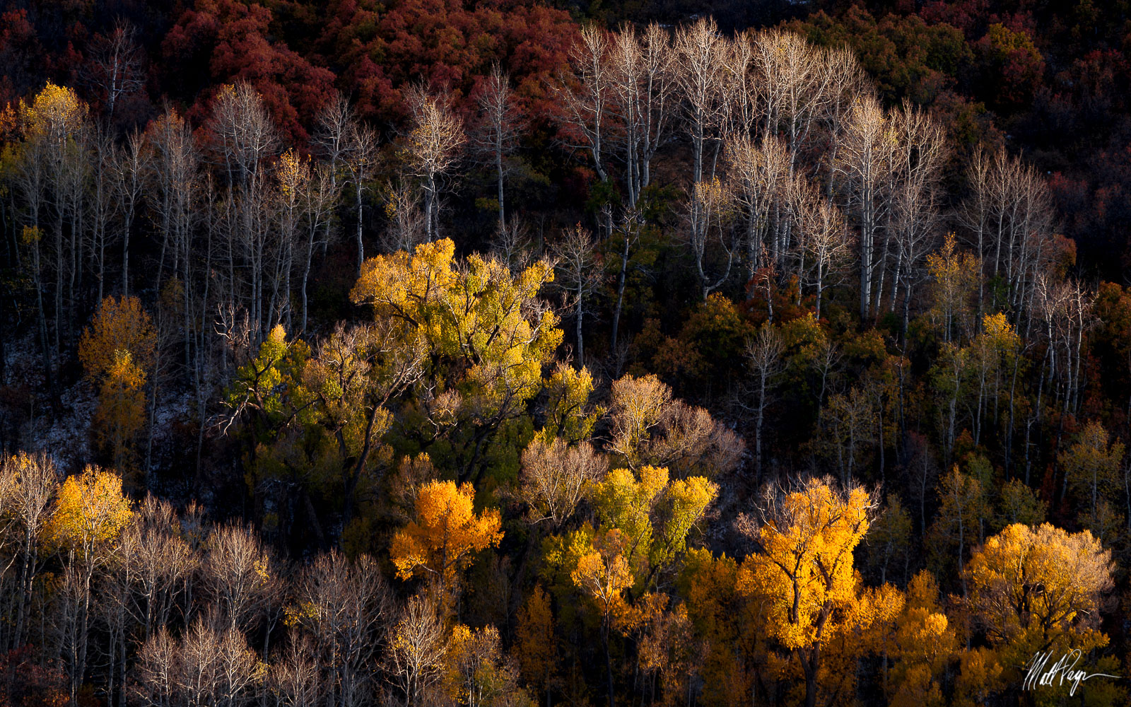 As the sun set to the west, directional light lit up these cottonwood trees and bare aspens on a hillside near Ridgway Colorado...