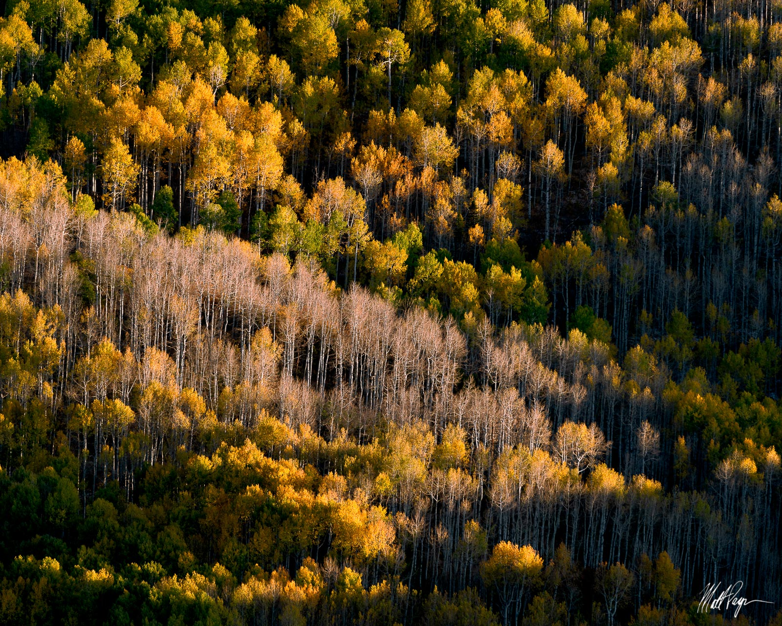 A hillside of aspen trees in various stages of change in Autumn near Ridgway, Colorado.Photo © copyright by Matt Payne.